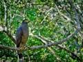 Adult Eagle.jpg