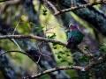 Imperial Pigeon.jpg